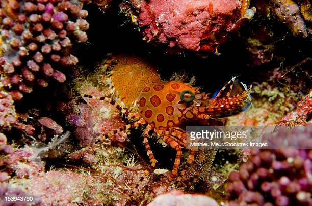 Orange and red spotted shrimp, Indonesia.