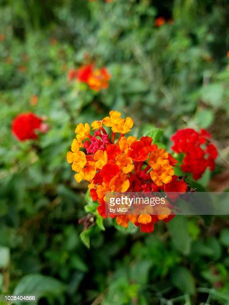 orange and red-colored lantana verbena cluster - uncultivated stock pictures, royalty-free photos & images