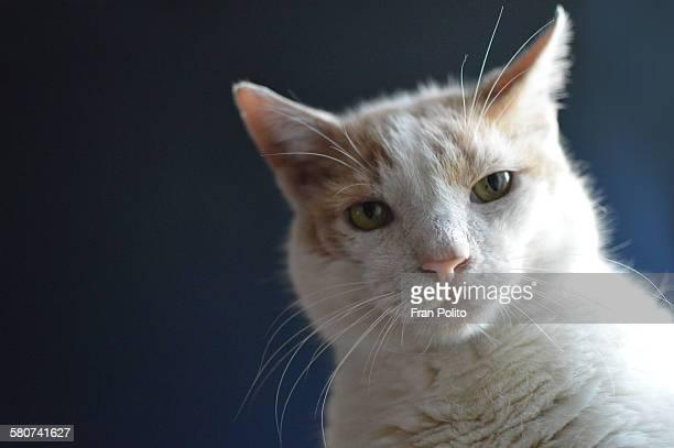 Orange and white cat on blue background