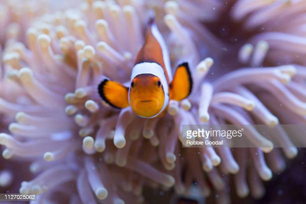 orange and white clownfish hiding in the tentacles of a sea anemone - symbiotic relationship stock pictures, royalty-free photos & images