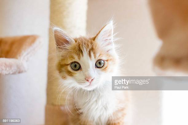 Orange and white medium haired domestic kitten