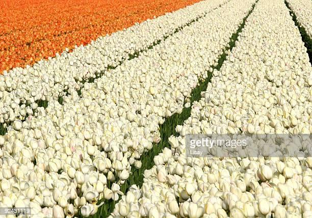 Orange and white tulip fields