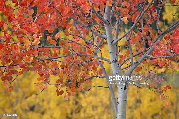 orange and yellow aspen leaves, white river national forest, colorado, united states of america, north america - white river national forest stock photos and pictures