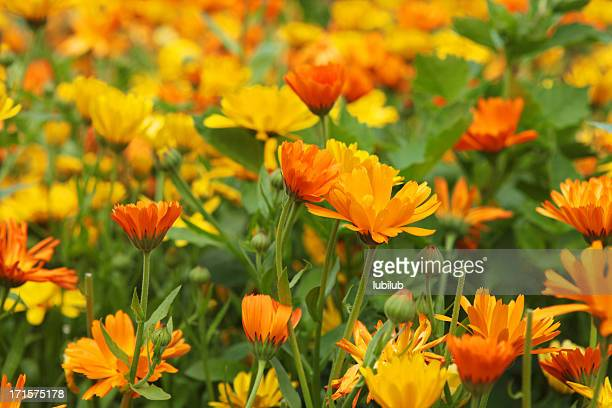 Orange and yellow marigold flowers in a large organic flowerbed