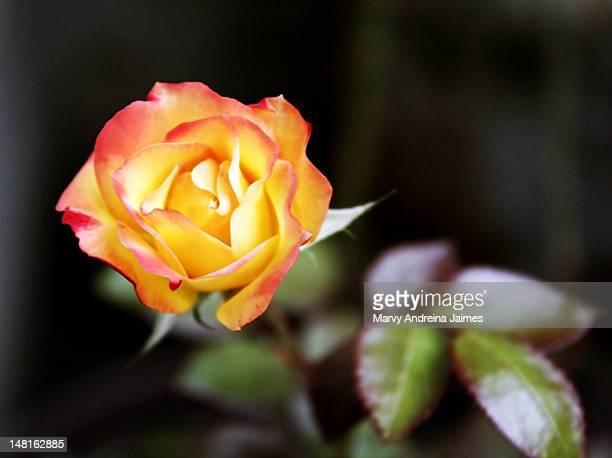 orange and yellow rose - região da capital - fotografias e filmes do acervo