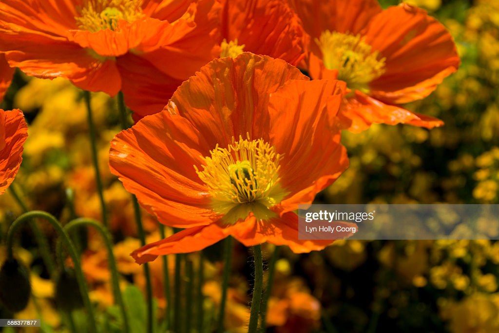 Orange anemone (Ranunculaceae) : Stock Photo