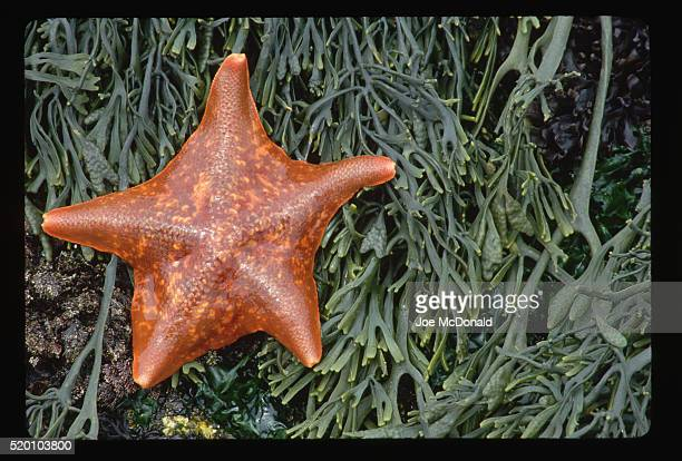 Orange Bat Star