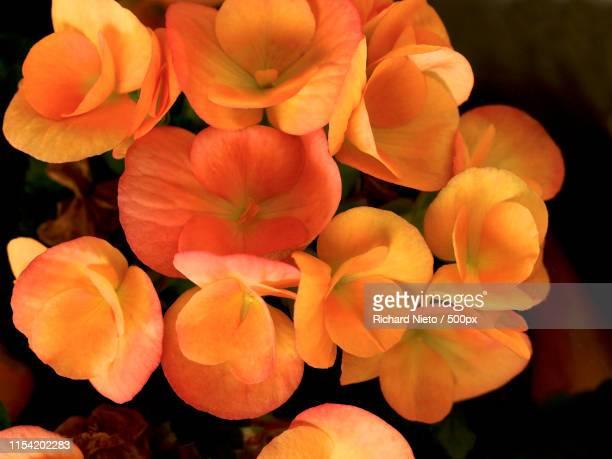 orange begonias - begonia stock pictures, royalty-free photos & images