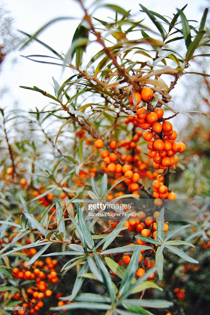 Orange Berries On Bush High Res Stock Photo Getty Images
