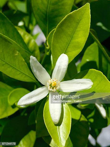 orange blossom blooming in lawn - orange blossom stock photos and pictures