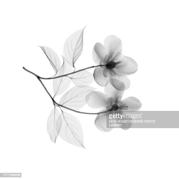 orange blossom flowers, x-ray - petal stock pictures, royalty-free photos & images