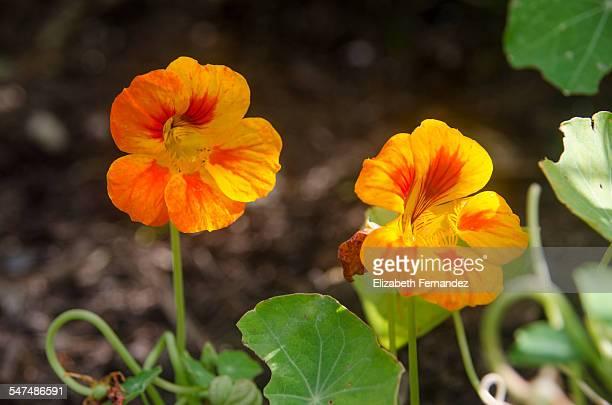 orange blossom of nasturtium - nasturtium stock pictures, royalty-free photos & images