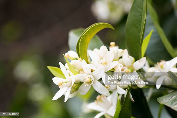 orange blossom on tree in mallorca spring garden - orange blossom stock photos and pictures