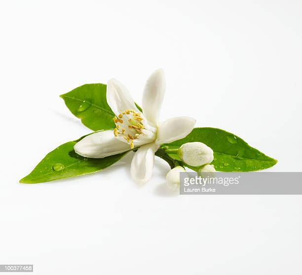 orange blossom on white background - orange blossom stock photos and pictures
