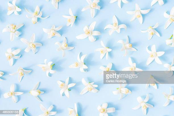 orange blossom - orange blossom stock photos and pictures