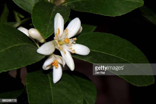 orange blossom (citrus sinensis), state flower of florida - orange blossom stock photos and pictures