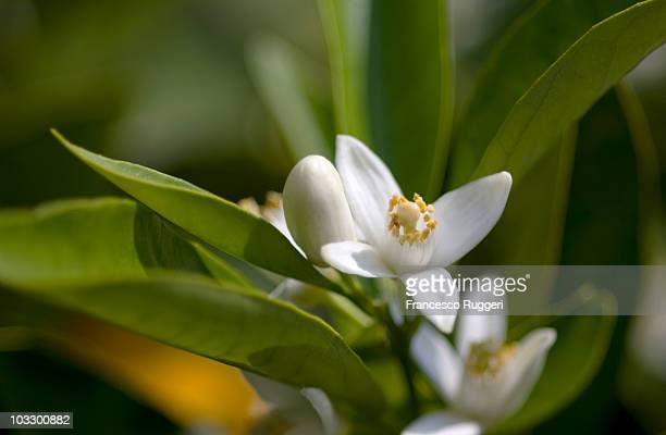 Orange blossom,close-up,Catania,Sicily,Italy