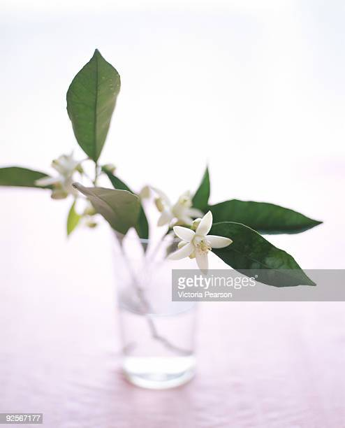 orange blossoms - orange blossom stock photos and pictures