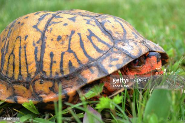 orange box turtle peeking from its shell - box turtle stock pictures, royalty-free photos & images