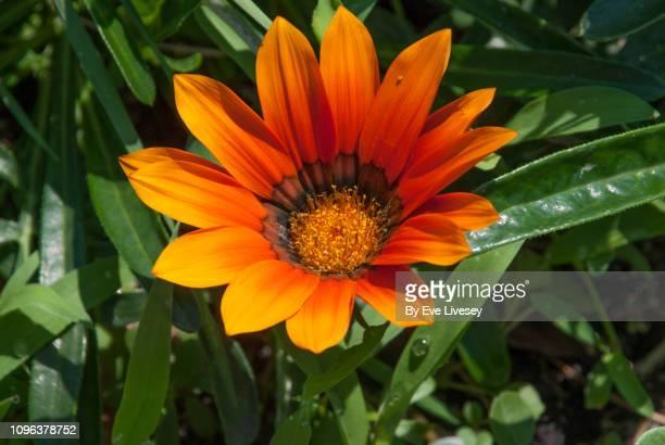 Orange & Brown Gazania