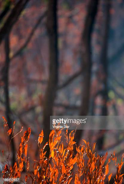 orange burnt leaves from black saturday bush fire - black saturday stock pictures, royalty-free photos & images