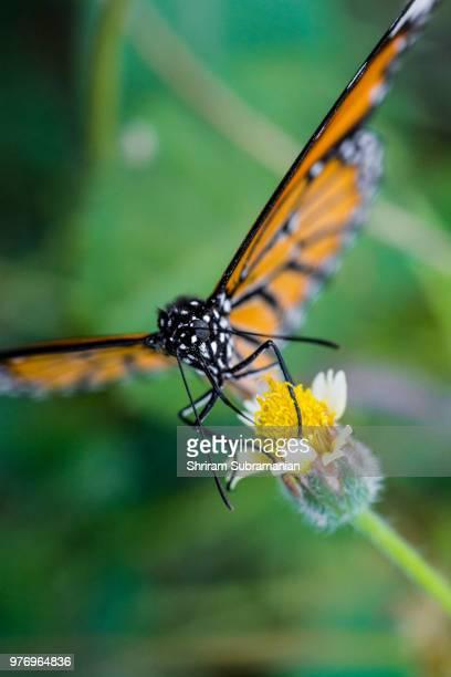 Orange Butterfly feeding on a flower
