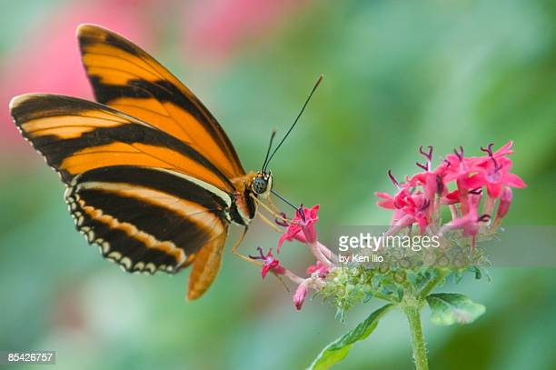 orange butterfly feeding on pink flowers - ken ilio stock pictures, royalty-free photos & images