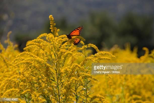 orange butterfly in field of goldenrod - ambrosia stock-fotos und bilder
