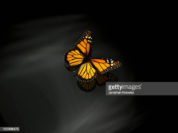 orange butterfly - monarch butterfly stock pictures, royalty-free photos & images