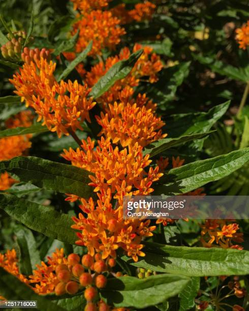 orange butterfly weed - milkweed stock pictures, royalty-free photos & images