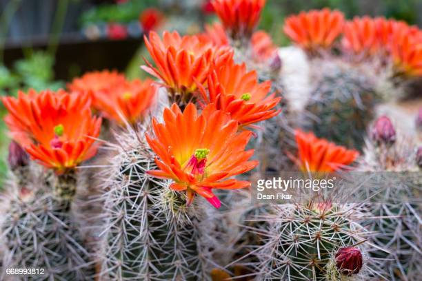 Orange Cactus Flowers