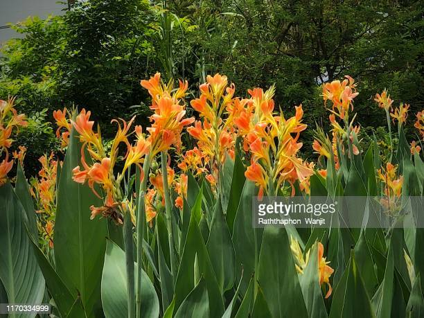 orange canna lily at raining season . - canna lily stock pictures, royalty-free photos & images