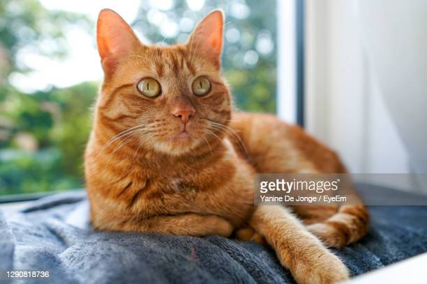 orange cat lying on a grey plaid - tabby stock pictures, royalty-free photos & images