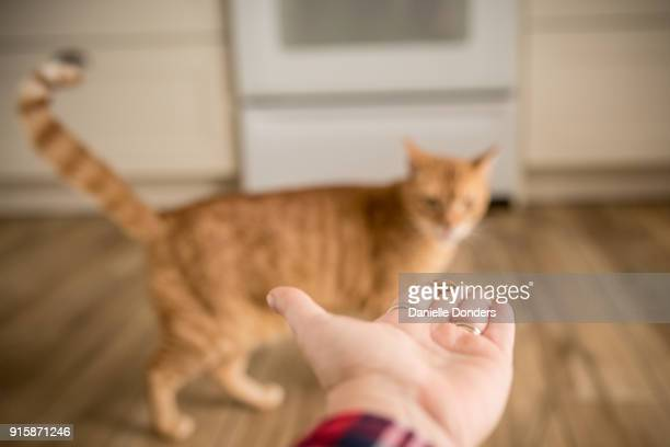 Orange cat wants treat but is hesitant
