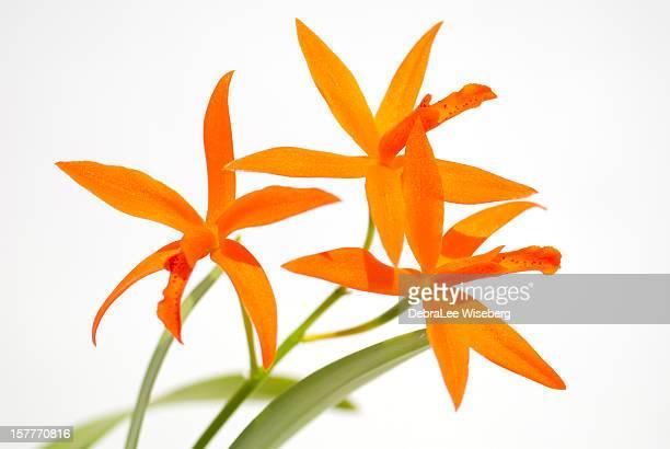 Orange Catts