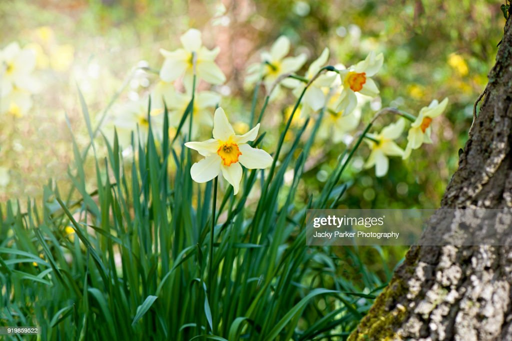 Orange centred Yellow, spring flowering Daffodils or Narcissus in the spring sunshine : Stock Photo