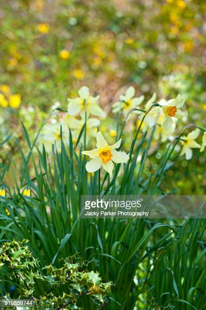 orange centred yellow, spring flowering daffodils or narcissus in the spring sunshine - narcissus mythological character stock photos and pictures