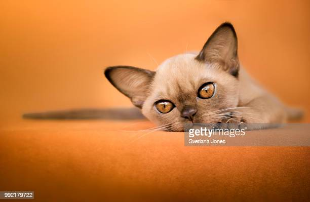 orange chocolate - burmese cat stock pictures, royalty-free photos & images