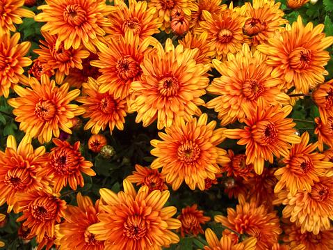 Orange chrysanthemum flowers background, natural pattern 1092844166
