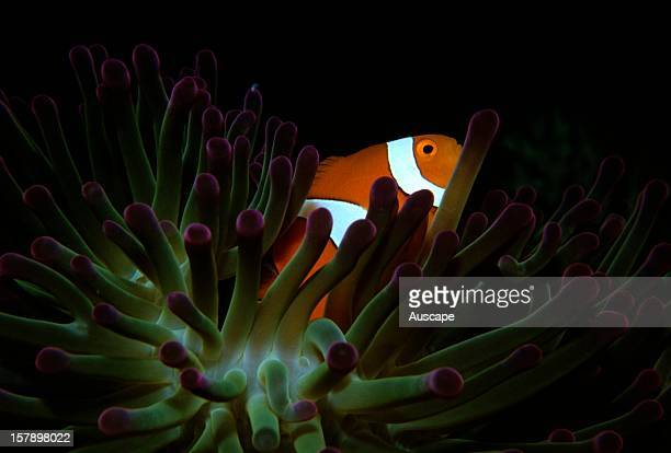 Orange clownfish in host sea anemone impervious to its stings Coral Sea Australia