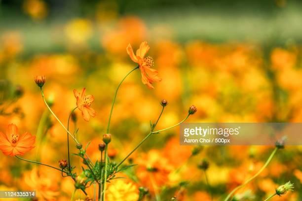 Orange Colored Cosmos