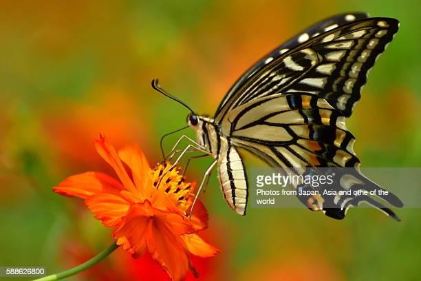 orange cosmos and butterfly - farfalla a coda di rondine foto e immagini stock