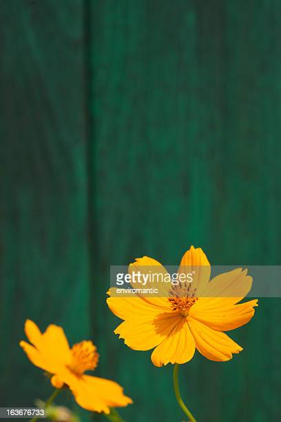 Orange Cosmos flowers and an old wooden fence.