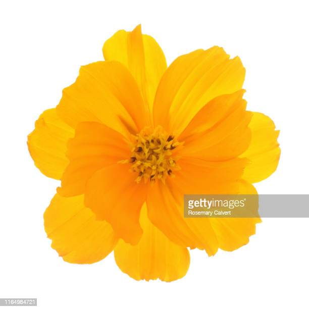 orange cosmos sulphureus flower on white square. - bloem stockfoto's en -beelden