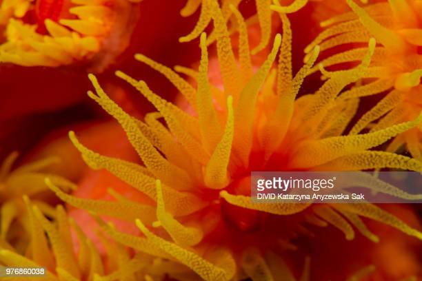 orange cup coral - cnidarian stock photos and pictures