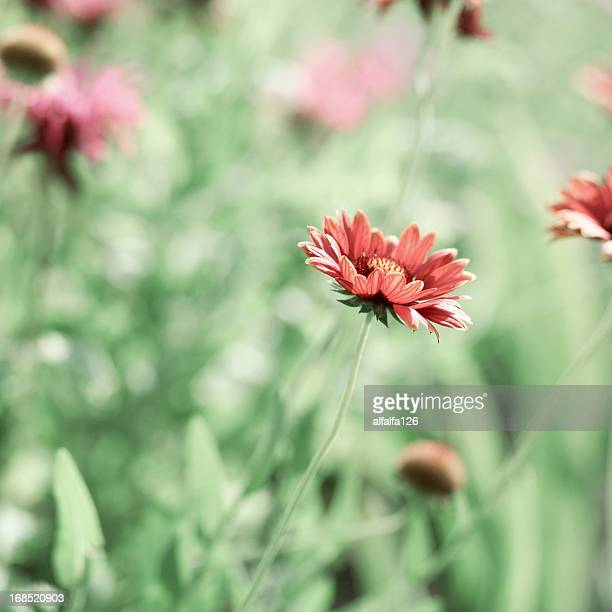 orange daisies - syracuse new york stock pictures, royalty-free photos & images