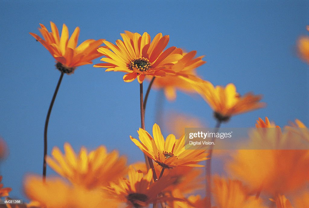 Orange daisies : Stock Photo