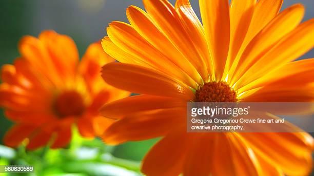 orange daisy flowers - gregoria gregoriou crowe fine art and creative photography - fotografias e filmes do acervo