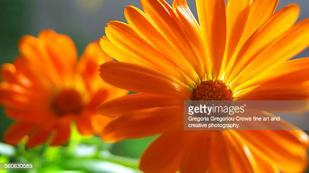 orange daisy flowers - gregoria gregoriou crowe fine art and creative photography ストックフォトと画像