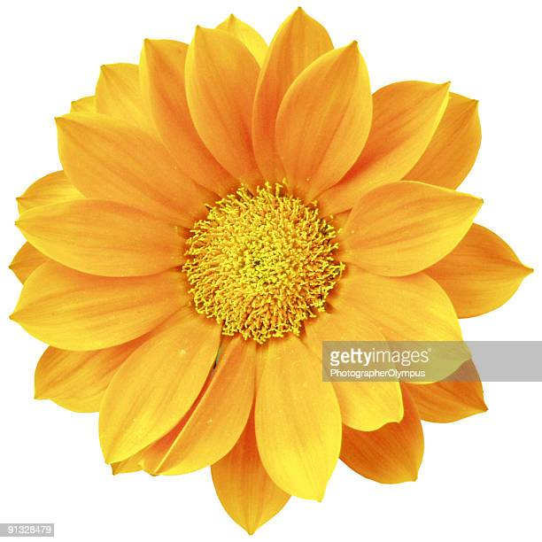 Orange daisy isolated